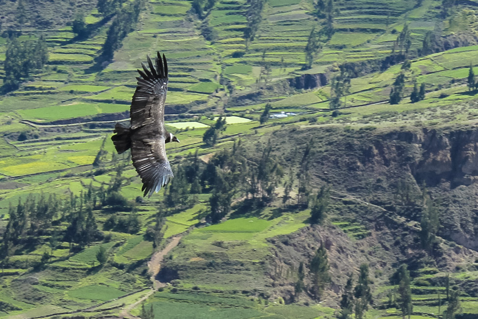 The famous condor of Colca Canyon, Peru.  Adult condors have a wingspan of roughly 2-3 meters.
